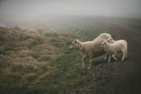 sheeps road trip westfjords iceland